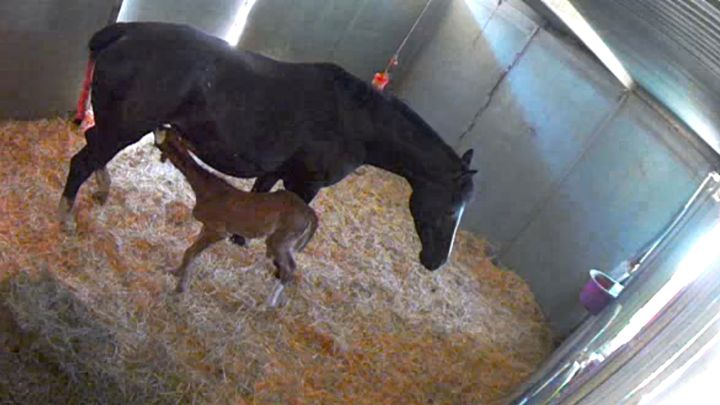 Giulette MMW ( UB40 x Metall ) with her Gaudi Filly