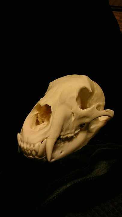 bear skull taken by Tom Milliman in 2012. This was from a hunt he won at the 2012 Rochester Outdoor Show