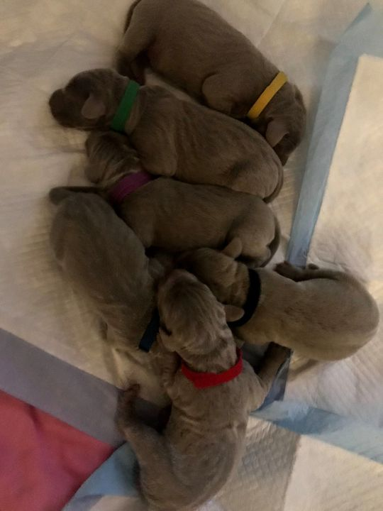 We are expecting puppies!They will be born mid-June and ready to rehome mid August!We are delighted!